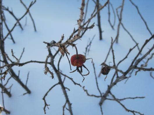 Olive's rosebush