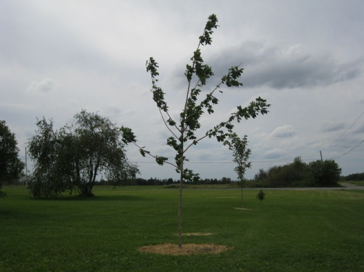 Our three sugar maples - including the tenacious little one eaten to a stub in its first winter by a moose
